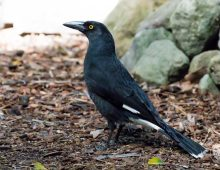 Currawong, Pied