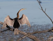 African Darter In His Breeding Plumage