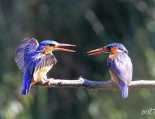 The Duelling Malachite Kingfishers