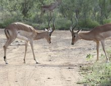 Impala Males Fighting For The Harem