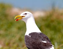 Kelp Gulls Attack To Protect Their Eggs