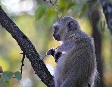 Vervet Monkey At Letaba