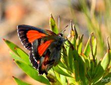 Protea Scarlet Butterfly