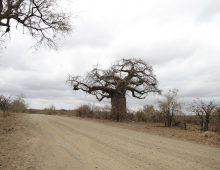 Trees of Kruger National Park